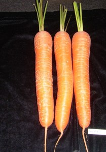 THREE CARROTS, stump rooted, tops trimmed to approx 76mm
