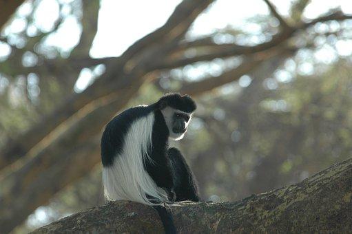 colobus-monkey-2548308__340