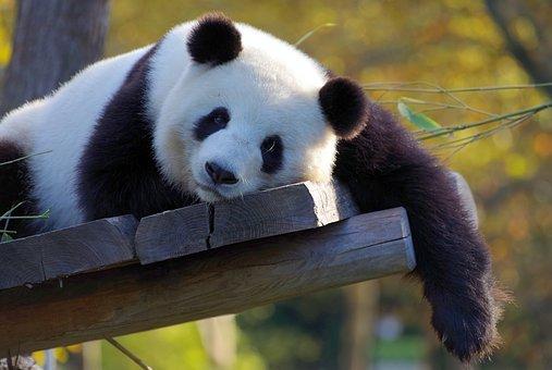 panda-3857754__340